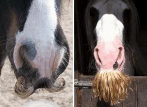 horses have moustaches